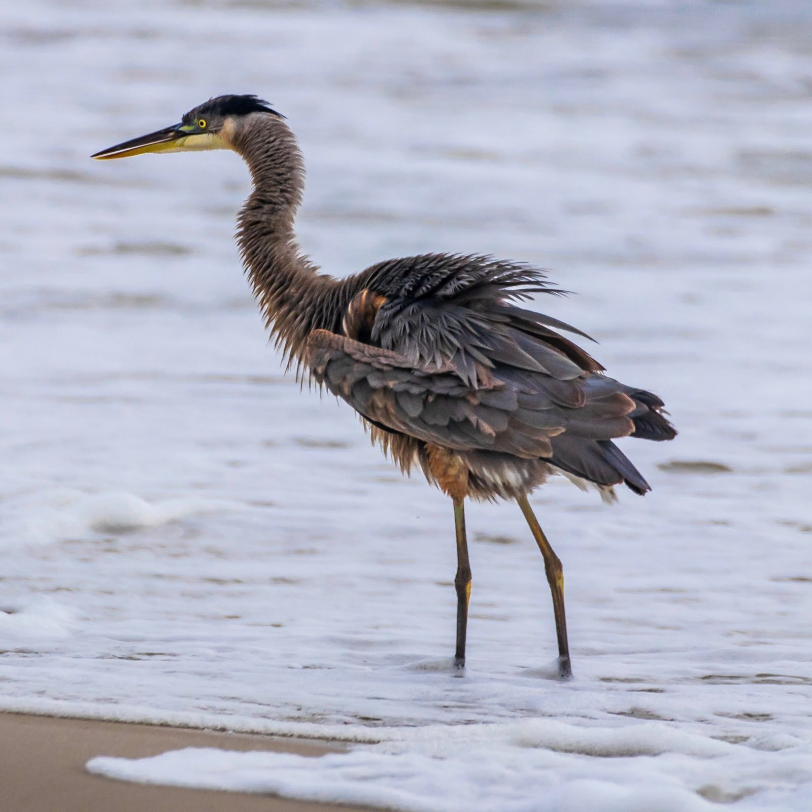 Blue Heron on Dauphin Island, AL