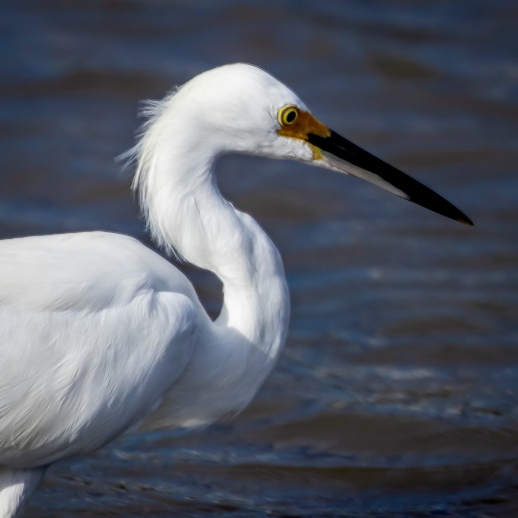 Close up of small Egret on Dauphin Island, AL