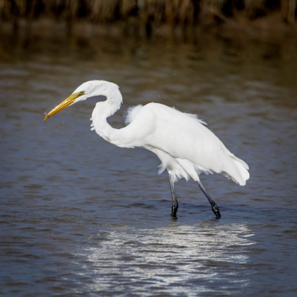 Egret with shrimp