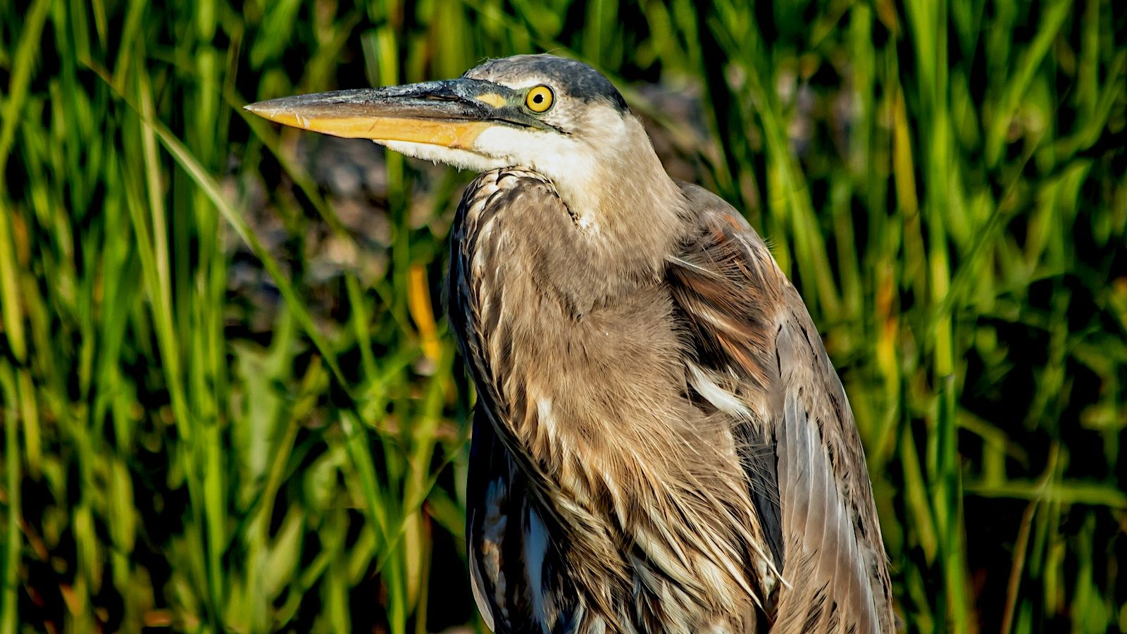 Blue Heron close up
