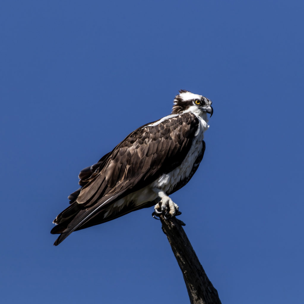 Osprey at Gulf State Park