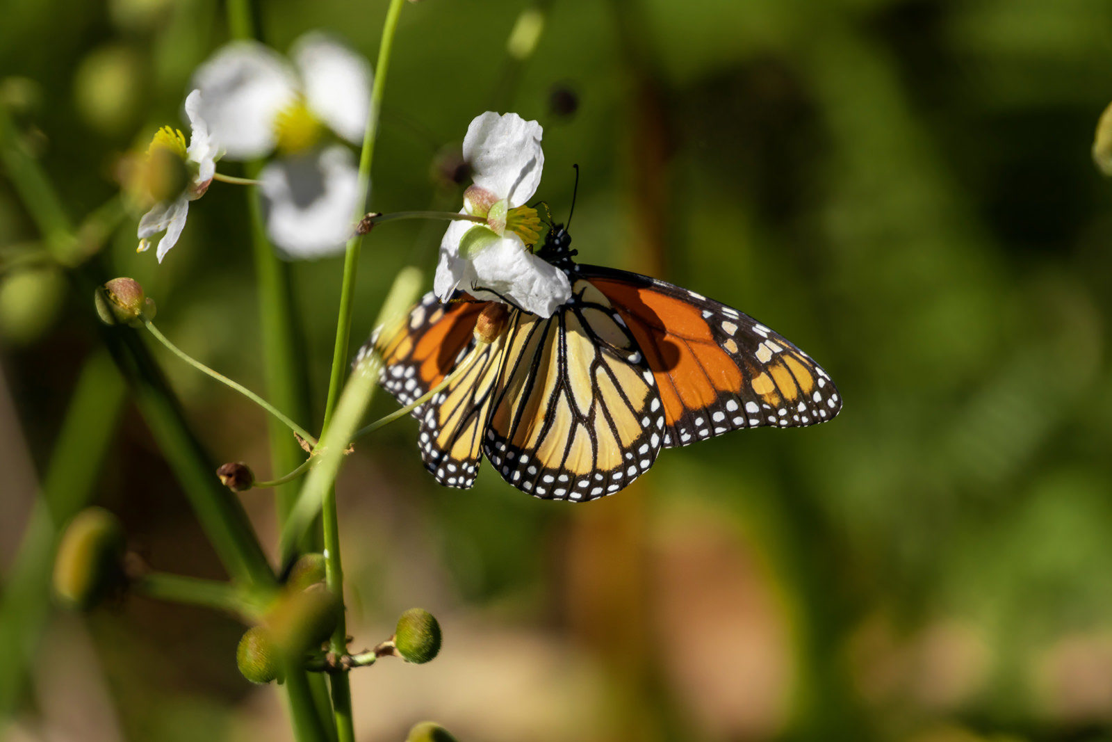 Monarch butterfly at Gulf State Park