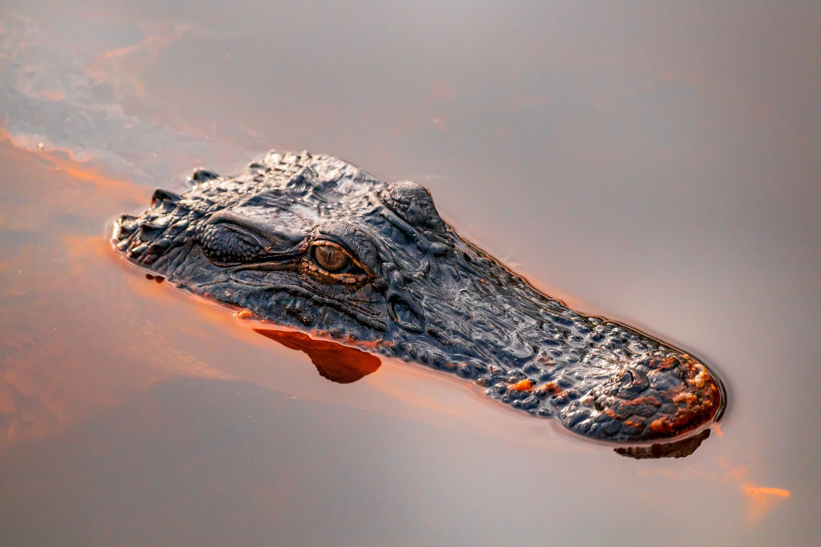 Alligator at Dauphin Island, AL